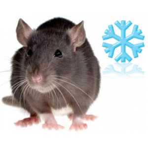 Rats congelés