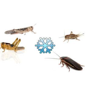 Insectes congelées